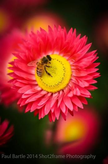 Sml LR5 9 Sept Bee on Flower Mt Annan Bot Gdns (1 of 1) copy